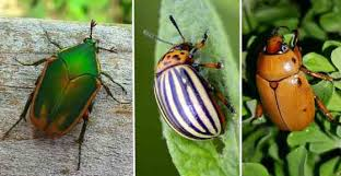 Black Beetle Identification Chart Types Of Beetles With Pictures And Identification Guide