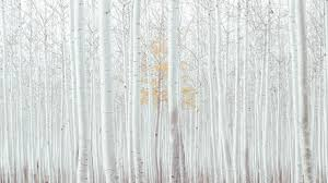 white, trees, forest, 4k, Nature #16745