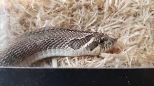 Designer Morphs Western Hognose Snakes