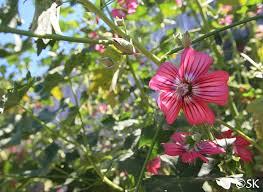 Lavatera assurgentiflora | California Flora Nursery