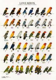 Lovebird Growth Chart Asif Rezwan Arezwan1630 On Pinterest
