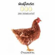 เลี้ยงไก่ และเลือกพันธุ์ไก่ ในบ้านให้ออกไข่ได้เก็บทุกวัน -บ้านและสวน