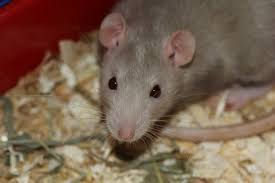 Rodents Lower Classifications In The Battle Of Cats Vs Rats The Rats Are Winning