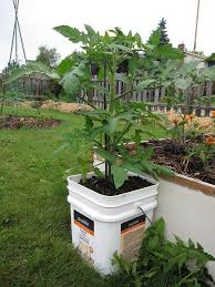 container gardening tomatoes. Exellent Container Ways To Grow Tomatoes Tomato Plant In A Bucket Intended Container Gardening Tomatoes