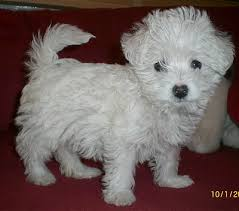 west highland white terrier maltese mix. Plain Maltese When You Cross A West Highland White Terrier With Poodle Get  Westiepoo Also Called WeePoo Wee Po Westipoo WestiePoo Westidoodle And  And Maltese Mix E