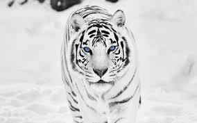 siberian tiger wallpaper desktop.  Desktop Widescreen In Siberian Tiger Wallpaper Desktop P
