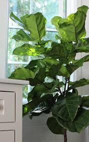 how to care for this year s it houseplant