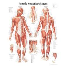 Muscular System Female Chart Laminated Wall Chart