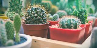 Der große innenhof wird täglich von vielen fleißigen hausfrauen gekehrt. Fehler Die Kaktuszuchter Machen Und Wie Man Sie Behebt Zamnesia Blog