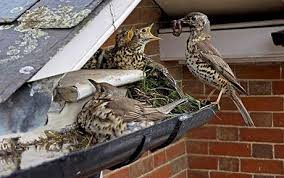 prevent birds from nesting. Fine Birds Bird Uses Body As Dam To Stop Drainpipe Soaking Chicks Throughout Prevent Birds From Nesting