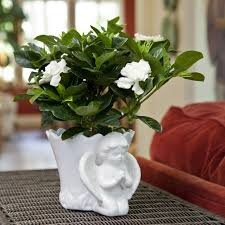 gardenia in angel cachepot