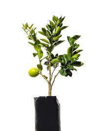 Growing Fruit Salad Trees U2013 Is There A Fruit Salad Tree And Can I Fruit Salad Trees Usa