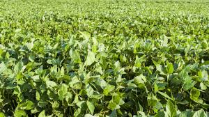 Known Distribution Of The Soybean Cyst Nematode Scn In The