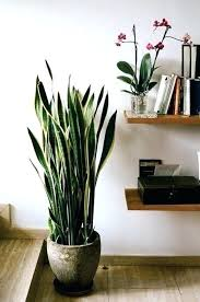 large indoor plants for gallery of tall indoor plants best ideas on big vast large