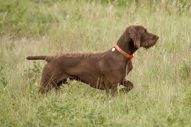 low or no shed hunting dogs 5 breeds