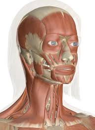 Cervical spine anatomy is quite complex. Muscles Of The Head And Neck Anatomy Pictures And Information