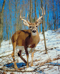 Deer Characteristics Species Facts Britannica