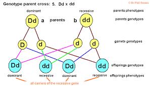 Genetics Inheritance Of Characteristics Dominant Recessive