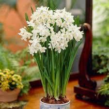 White Paper Flower Bulbs Paper Whites Ziva Bulbs 7 Pack