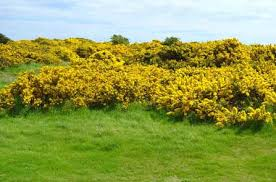 Image result for gorse