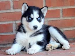 husky puppies for sale. Interesting Puppies Pair Of Blue Eyes Siberian Husky Puppies  In Puppies For Sale B