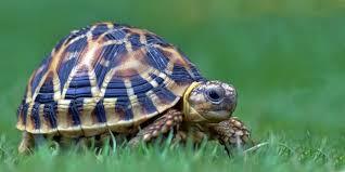 Indian Star Tortoise Diet Chart Indian Star Tortoises