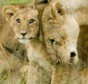 lion panthera leo animals a z animals lion louisville zoo lion cub mother in the serengeti