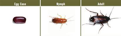Oriental Cockroach Oriental Cockroach Control How To Kill Oriental