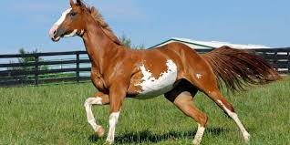 paint horses running in a field. Beautiful Paint Does Your Horse Play U0027Catch Me If You Canu0027 Intended Paint Horses Running In A Field R