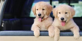 puppies reach maximum cuteness at 8 weeks of age according to a new study shutterstock