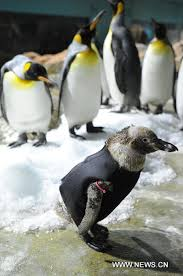 featherless penguin. Unique Penguin The Featherless Humboldt Penguin Belle Front Is Worn A Wet Suit To Help It Intended Featherless Penguin