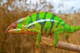 Chameleons Color Changing Secret Revealed