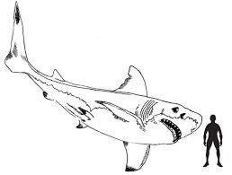 Small Picture Scale drawing by Everything Dinosaur of a Megalodon Art