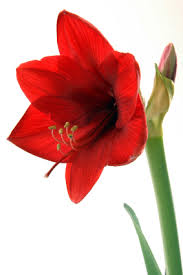 Amaryllis plants aren't just for Christmas! These big, bold, beautiful  blooms also make great Valentine's Day gifts! These easy to grow  houseplants will ...