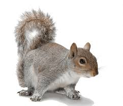 Rodents Lower Classifications Ground Squirrels Identification 6 Common Types 6 Ways To