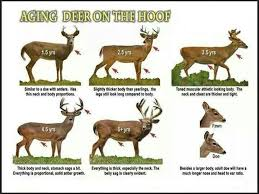 How To Age A Whitetail Buck Whitetail Hunting Whitetail