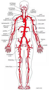 Blood vessels are key components of the systemic and pulmonary circulatory systems that distribute blood throughout the body. Which Artery Is The Largest And Why Quora