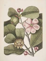 Clusiaceae