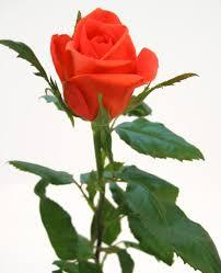 Kuvahaun tulos haulle ruusu