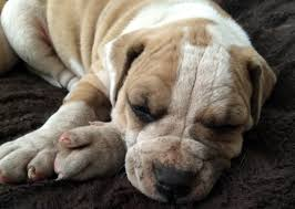 Progress in addressing a severe skin disease that affects dogs and ...
