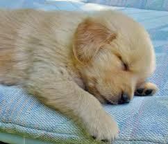 golden retriever puppies sleeping. Fine Puppies Cute Puppies Wallpaper Entitled Sleeping Golden Retriever Puppies Inside Golden Retriever Sleeping R