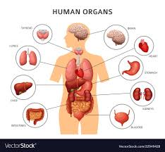 Organs In The Human Body Human Body Internal Organs Stomach And Lungs