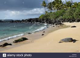 Hawaiian Sea Turtles Laniakea Beach Oahu Hawaii Stock
