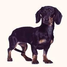 Mini Dachshund Puppy Weight Chart Goldenacresdogs Com
