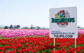 mount vernon wa usa april 8 2016 tulip fields of roozen