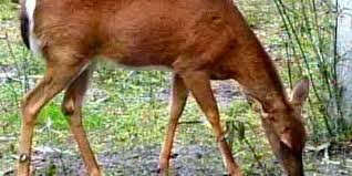 chronic wasting disease confirmed in second mississippi white tailed deer