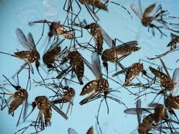 mosquitoes க்கான பட முடிவு