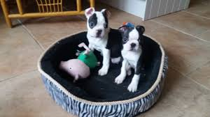 4 kC Boston terrier puppies for sale ...