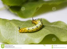 Yellow Caterpillar Identification Chart Caterpillar Of Common Maplet Butterfly Hanging On Leaf Of
