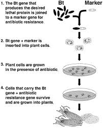 genetically modified organisms in aquatic environments gmo bt picture jpg
